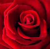 Closeup of red rose Royalty Free Stock Images