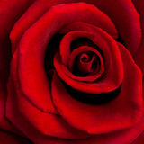 Closeup of red rose Royalty Free Stock Photo