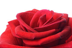 Closeup of red rose Royalty Free Stock Photography