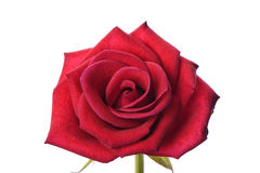 Closeup of red rose Royalty Free Stock Image
