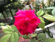 Closeup red rose. Green leaf blurry background Royalty Free Stock Photography