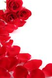 Closeup of red rose with petals Royalty Free Stock Images