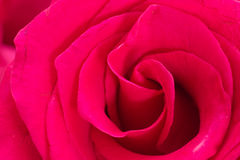 Closeup of red rose petals. Abstract background Royalty Free Stock Image