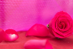 Closeup of red rose and petals, on pink background Royalty Free Stock Images