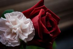 The dark rose and soft carnation royalty free stock image