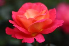Closeup of the red rose Shanty in the rose garden. royalty free stock photo