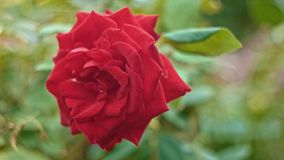 Closeup red rose in slow motion on wind stock video footage