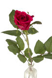 Closeup of red rose in vase on white Royalty Free Stock Photography