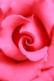 Closeup of a red rose Stock Images