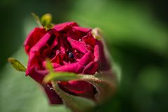 Closeup of red rose with water drop royalty free stock photo