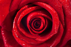 Closeup of on red rose wet petals on white background. Stock Images