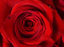 Red Rose closeup background image for valentines Royalty Free Stock Photo
