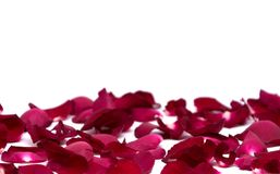 Closeup red rose on white backgrounds. Rose royalty free stock photo