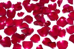 Closeup red rose on white backgrounds. Rose royalty free stock images