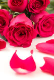 Closeup of red roses bouquet and petals, on white Royalty Free Stock Image