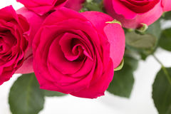 Closeup of red roses bouquet, on white Royalty Free Stock Photo