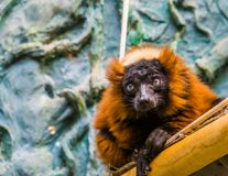 Closeup of a red ruffed lemur monkey, cute tropical primate from Madagascar, critically endangered animal specie. A closeup of a red ruffed lemur monkey, cute royalty free stock photo