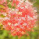 Closeup Red Saraca on Vivid Background Royalty Free Stock Images