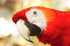 Closeup Red Scarlet macaws Stock Image