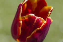 Closeup of Red Selectives Tulips Aishwarya Rai in National Dutch Park Keukenhof. In Holland.Horizontal Shot Royalty Free Stock Photo