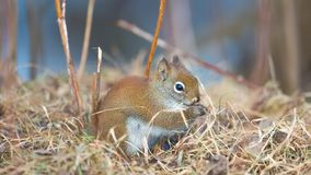 Closeup red squirrel portrait on ground in twigs and grasses in the Sax-Zim Bog in the winter stock image