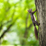 Closeup of a red squirrel Royalty Free Stock Images
