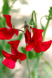 Closeup of Red Sweet Pea Flower Royalty Free Stock Photography