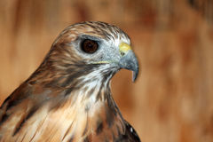 Closeup of a Red-tailed Hawk Stock Photography