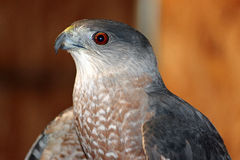 Closeup of a Red-tailed Hawk Stock Image