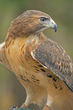 Closeup Red Tailed Hawk in rehab. Royalty Free Stock Photo