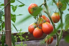 Red tomatoes growing in greenhouse royalty free stock photo