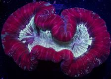 Red trachyphyllia coral. Closeup of red trachyphyllia (open brain) coral against a dark background royalty free stock photography