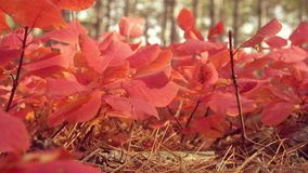 Closeup of red tree leaves. Yellow autumn forest on the background. Beautiful autumn colorfull forest. Leaves fluttering. In the wind. Idyllic sunny fall forest stock video footage
