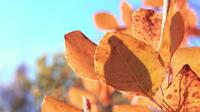 Closeup of red tree leaves. Yellow autumn forest and blue sky in soft focus on the background. Beautiful autumn stock footage