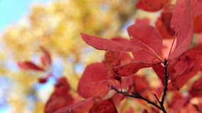 Closeup of red tree leaves. Yellow autumn forest and blue sky in soft focus on the background. Beautiful autumn. Colorfull forest. Leaves fluttering in the wind stock video
