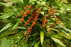 Closeup of red tropical berries in jungle Royalty Free Stock Image
