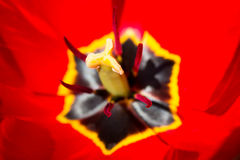 Closeup of red tulip Royalty Free Stock Photo