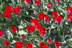 Red tulips with green leaves, typical dutch flowers Stock Images