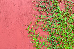 Closeup of Red wall partly covered with green plant Stock Photos