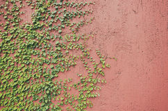 Closeup of Red wall partly covered with green plant Stock Image