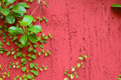 Closeup of Red wall partly covered with green plant Royalty Free Stock Photography