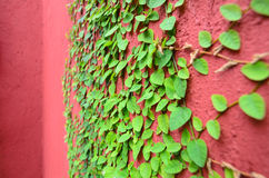 Closeup of Red wall partly covered with green plant Royalty Free Stock Photo
