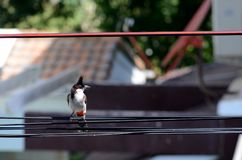 Closeup of red-whiskered bulbul bird hold dragonfly on cable stock photography