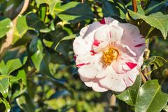 Red and white striped camellia bush with flower in bloom. Closeup of red and white striped camellia bush with flower in bloom stock photos