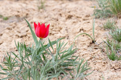 Closeup red wild tulip in desert near mount Bogdo. Royalty Free Stock Images