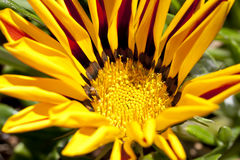 Closeup of Red and Yellow Blanket Flower Royalty Free Stock Images
