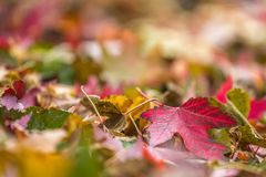 Red, yellow and green leaves in pile during Autumn. Sele. Closeup red, yellow and green leaves in pile during Autumn. Selective focus with copy space royalty free stock photography