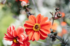 Closeup of red Zinnia flower in full bloom Stock Photo