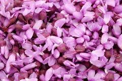 Closeup of Redbud Blossoms. Macro shot of loose redbud blossoms Stock Image