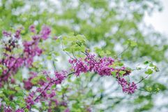 Flowers of Chinese redbud in spring royalty free stock photo